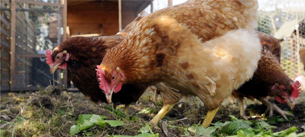 un composteur et des poules dans votre jardin grâce au CMJ !